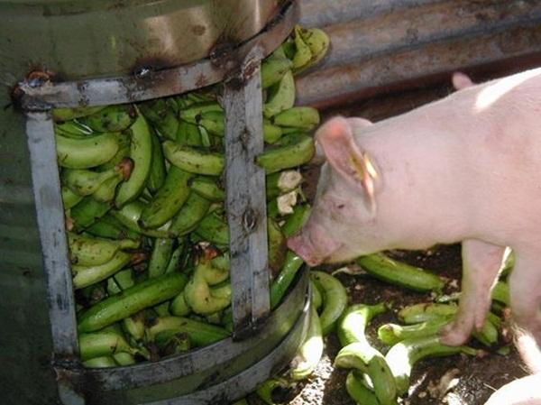 banana_pig