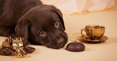 dog_chocolate
